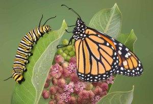 caterpillarbutterlfy