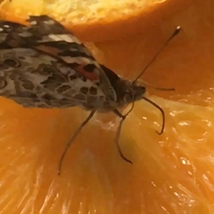 orangebutterfly