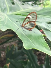 Glass Wing Butterfly the smallest and strongest of it's kind